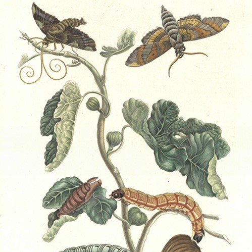 Artful Nature and the Legacy of Maria Sibylla Merian