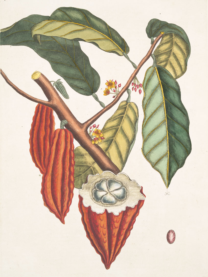 Illustration of a cacao tree